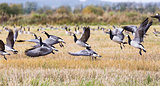 Flock of Canada Geese Flying