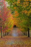 Path Lined with Maple Trees in Fall Season