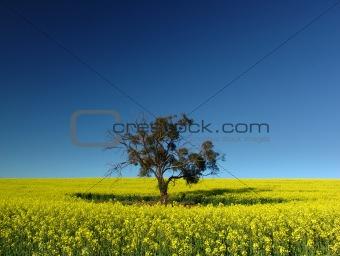 Canola Tree