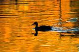Duck on Golden Pond