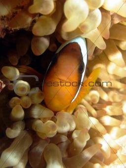 Anemone fish (Nemo)