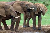 3 Young elephant bulls