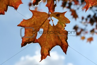 Autumn, ragged maple leaf