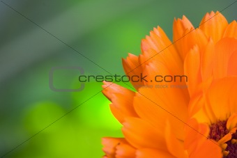 Orange flower(Calendula) macro