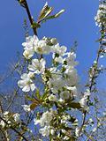 Cherry blossom.  10346