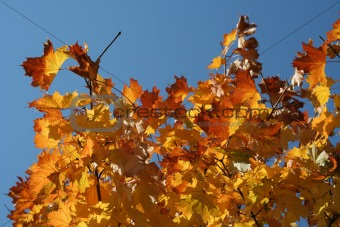 Autumn leaves-1