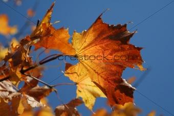 Autumn leaves-3