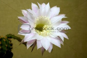 cactus flower with water drops