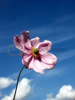 Japanese Anemone 101