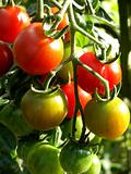 Tomatoes 12