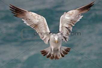 Kelp gull 07