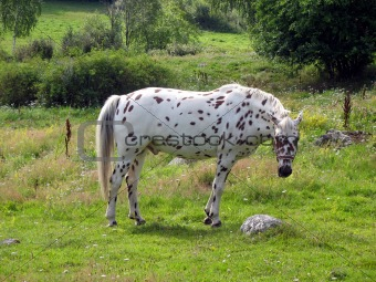 Tigered horse 2
