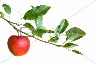 apple on a branch
