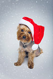 Yorkshire terrier dog in christmas cap