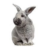 Cute Argente rabbit isolated on white