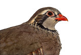 Close-up of a Red-legged partridge isolated on white