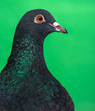 Close-up of a Pigeon against green background