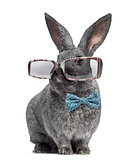 Argente rabbit wearing glasses and bow tie isolated on white