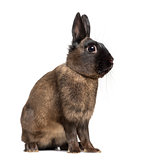 Side view of an Alaska rabbit isolated on white