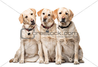 group of Labrador Retriever dogs sitting isolated on white