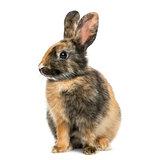 Profile of Rabbit isolated on white