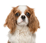 Close-up of Cavalier King Charles Spaniel, isolated on white