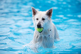 White Shepherd dog, fetching tennis ball in swimming pool