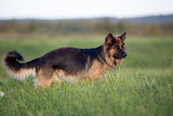 German shepherd dog full length