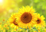 Sunflowers on blurred sunny background