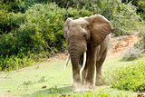 Big African Bush Elephant with huge trunks.