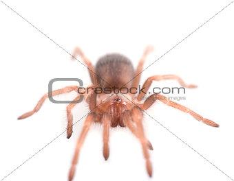 Brachypelma vagans spider Isolated