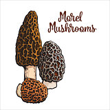 Set of morel edible mushrooms