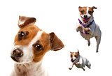 Cute and Energetic Jack Russell Terrier Dog Set