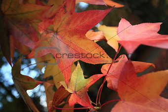 Changing Autumn Leaves