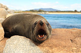 Australian Fur Seal says G'day