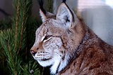 Siberian lynx sitting near a tree