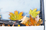 frost on fallen yellow maple leaves
