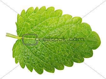 Green lemon balm leaf (Melissa officinalis) isolated on white