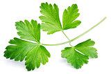 Garden parsley herb (cilantro) leaf isolated on white