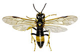 Sawfly Tenthredo on white Background