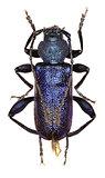 Violet Longhorn Beetle on white Background
