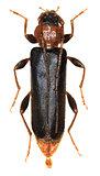 Violet Tanbark Beetle on white Background