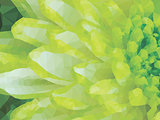 Detail of Lime Green Chrysanthemum Flower Square Backround