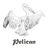 Hand drawn sketch of pelican with spread wings. Vector