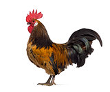 Side view of a Belgian rooster isolated on white