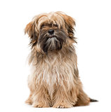 Shih Tzu puppy sitting and staring isolated on white