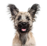 Close-up of a Skye Terrier dog isolated on white