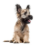 Skye Terrier sitting, panting and looking away isolated on white