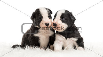 21 day old crossbreed puppies sitting together on white fur