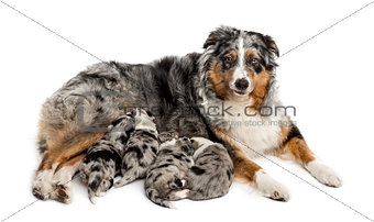 Group of 21 day old crossbreed puppies suckling from mother